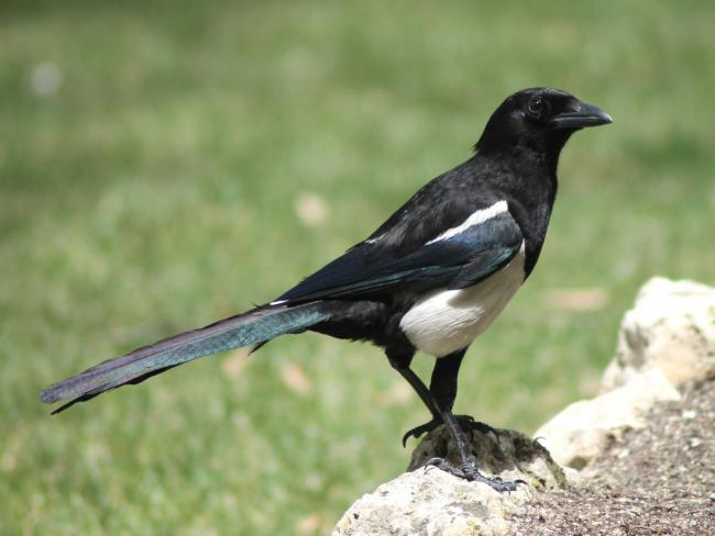 Magpie resting on a wall. PICTURE: GWCT