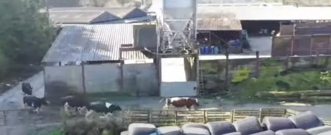 Fundraising cows at a Llandovery dairy farm