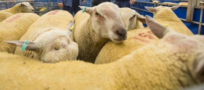The NSA sales draw 5,000 or more sheep from all over the UK, as well as thousands of farmers, with a turnover approaching £2million