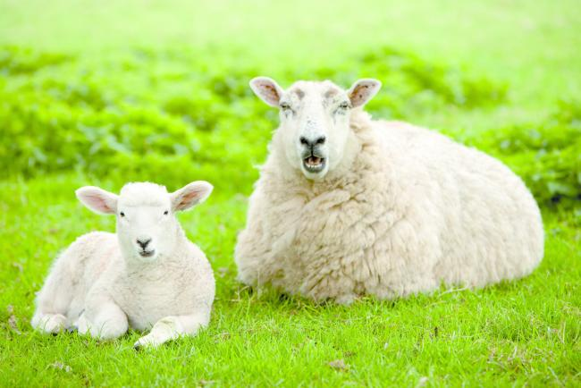 Donate a sheep plan to help families in need