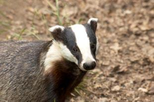 BREAKING NEWS: Controversial badger cull halted after campaigners' successful appeal
