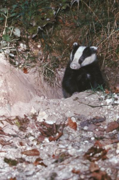 "The Badger Trust has said it is ""delighted"