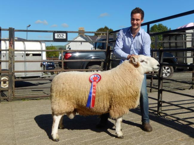 Champion ram from our recent Brecknock Hill Cheviot Ram Sale held at Sennybridge Market (45161228)