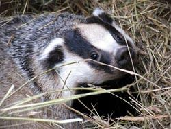 The Welsh Assembly Government (WAG) has said it will not defer the north Pembrokeshire badger cull despite a forthcoming court appeal