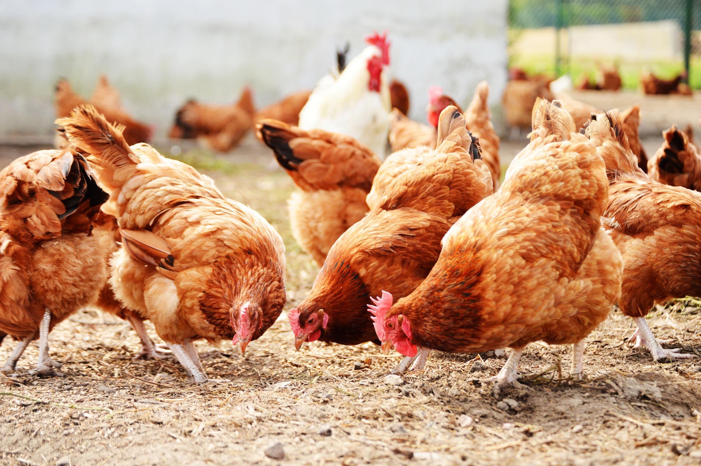 A rise in the number of poultry units is causing concern among environmentalists