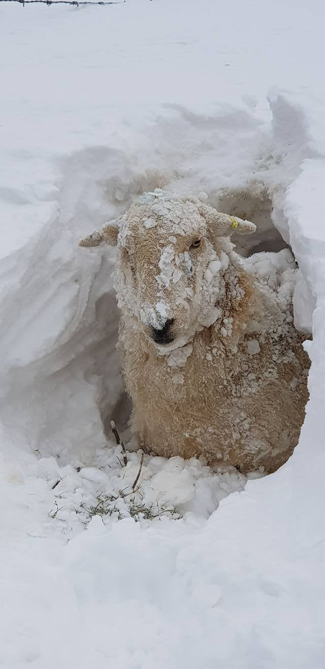 A ewe dug out of the drifts at Lodor farm in the recent snowy weather. PICTURE: Carla Thomas