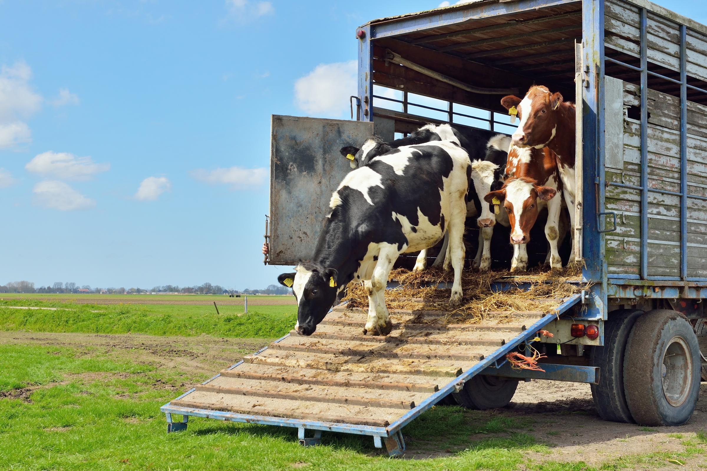 livestock transport of cows to green meadow.