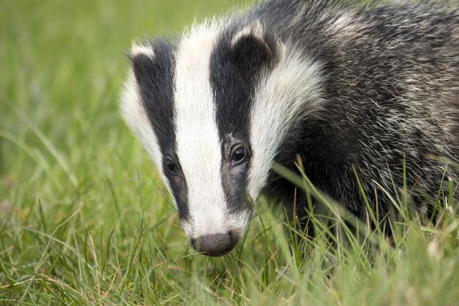 A badger. Picture free to use